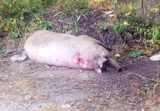 Африканська чума «косить» свиней на Хмельниччині