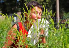 Амброзія висушує ґрунти та може викликати бронхіальну астму