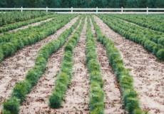 Шепетівські лісівники до новорічних свят насадили додатково 6 гектарів ялинок