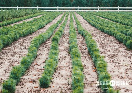 У Мальованському лісництві розводять диких кабанів та вирощують модрину