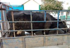 У Славутському районі оперативно затримали злодія, який продав чужу корову