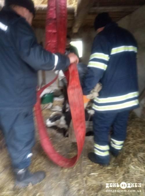 На Шепетівщині врятували корову, яка провалилася в погріб
