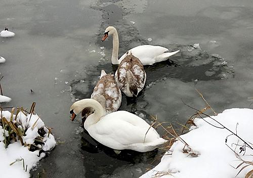 На Шепетівщині мерзне пара лебедів