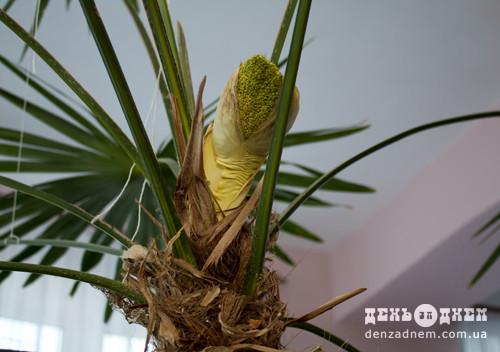 До ювілею дитячої бібліотеки розквітне пальма, що здійснює бажання