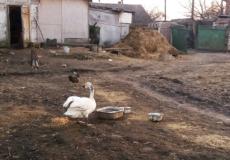 У Шепетівському районі лебідь поселився на пташиному дворі селянки (Оновлено)