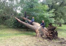 У Шепетівському парку впала багатометрова сосна