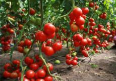 Аби на Шепетівщині грядки були врожайні