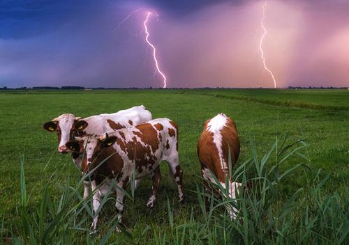 У селі на Шепетівщині блискавка вбила корову