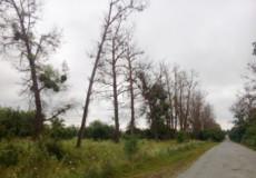 На Шепетівщині зріжуть аварійні дерева