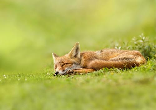 На Шепетівщині лис напав на охоронців та покусав пса
