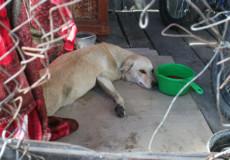 У Шепетівці збирають гроші на операцію собаки Асі, яку збила автівка