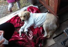 Собаку Асю, яку збила автівка, прооперували