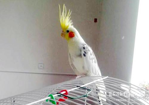 Папуга - домашній улюбленець