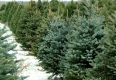 Лісівники Хмельниччини напередодні Нового року реалізували 24 тисяч ялинок