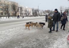 У Шепетівці безпритульні собаки атакують на зупинці