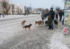 Міська влада поки безсила приборкати зграї собак у Шепетівці