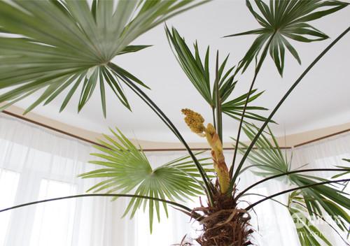 У Шепетівці розпочався сезон цвітіння «пальми бажань»