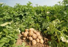 На Шепетівщині ґазда хотів купити картоплі за гуртовими цінами