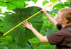 У шепетівському лісі висадили плантацію адамового дерева