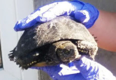 У Шепетівці черепаха таємно закралася у друкарню