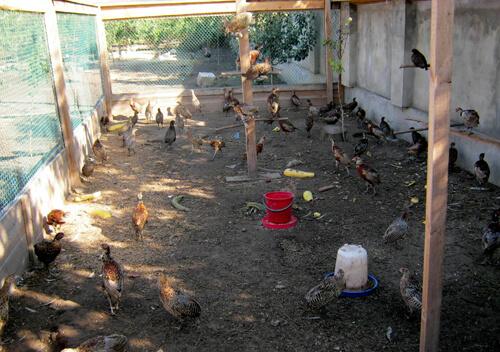 Мисливці Ізяславщини розводять фазанів
