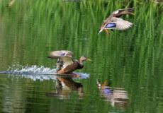 У серпні мисливці Шепетівщини виходять на полювання пернатих