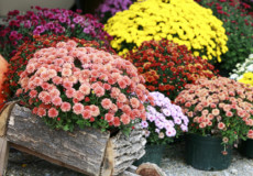 Кущова хризантема— особливості догляду у відкритому грунті та квартирі