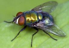 Чим небезпечні мухи