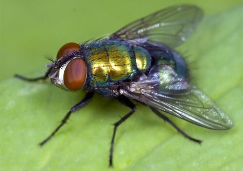 Чим небезпечні мухи   День за днем