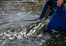 У водойму-охолоджувач Хмельницької АЕС вселять понад 5тонн молоді риби