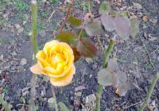 У шепетівчанки на День святого Миколая зацвіли троянди