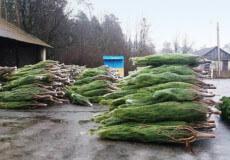 За незаконне придбання й торгівлю новорічними ялинками передбачено штраф