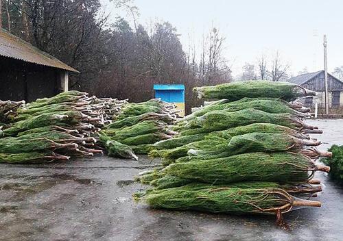 Шепетівські лісівники до новорічних свят планують реалізувати понад 3 тисяч ялинок