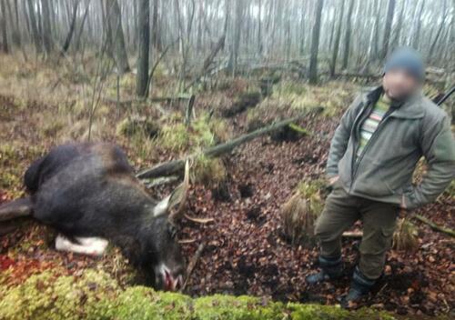 Хмельничанин, що вбив червонокнижного лося, запропонував слідчому хабаря