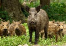 У Шепетівському лісгоспі порахували диких парнокопитних та хутрових тварин