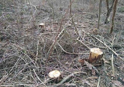 На Хмельниччині незаконно вирубали пів тисячі дерев