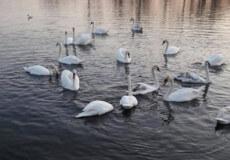 Уторік з Плесни відлітала пара лебедів, а повернулася ціла зграя