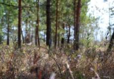 В одному з національних природних парків Хмельниччини квітне андромеда
