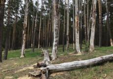 Дерева довкола озера Святого, що на Ізяславщині, потерпають від нестачі води