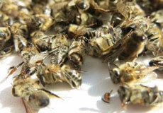 На Хмельниччині з'ясовують причини загибелі бджіл