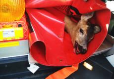 На Хмельниччині у середмісті знесилена козуля потребувала допомоги