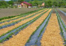 Селяни на Хмельниччині зайнялися ягідництвом
