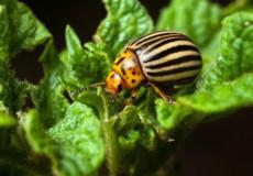 Стійкість картопляного жука до інсектицидних речовин. Чим боротися зі шкідниками?