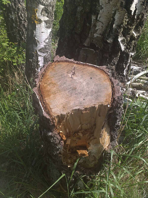 На Хмельниччині незаконно вирубали дерева на суму понад пів мільйона
