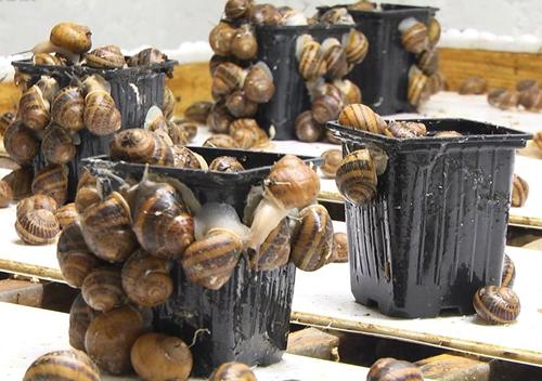 Фермер з Хмельниччини експортує равликів у ресторани країн Європи