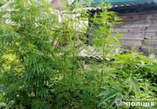 Шепетівчанину, що біля будинку виростив плантацію канабісу, ухвалено вирок