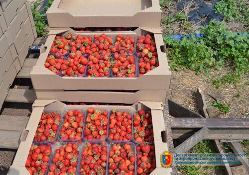 На Хмельниччині товариство вирощує ягоди та яблука на 173 гектарах