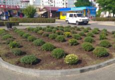 У Нетішині розквітне сотня кущів хризантем
