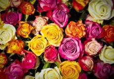 Як вибрати колір троянди для посадки