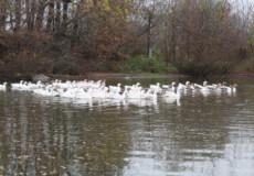 Невдовзі зима, а гусяча сотня у Коськові ще плаває у ставку
